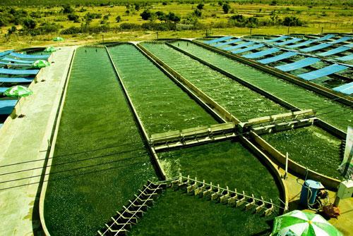 Tảo mặt trời Spirulina Earthrise của Mỹ là sản phẩm hàng đầu thế giới